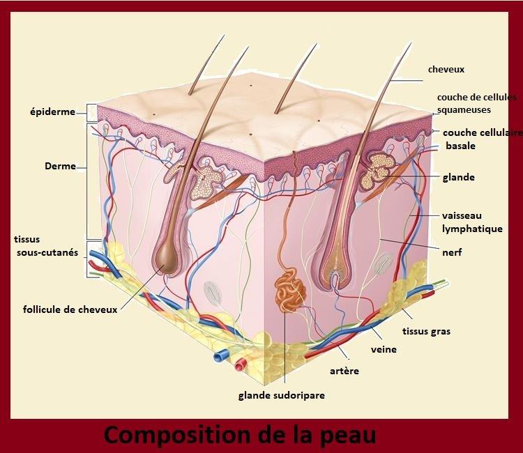 cancer de la peau. composition de la peau